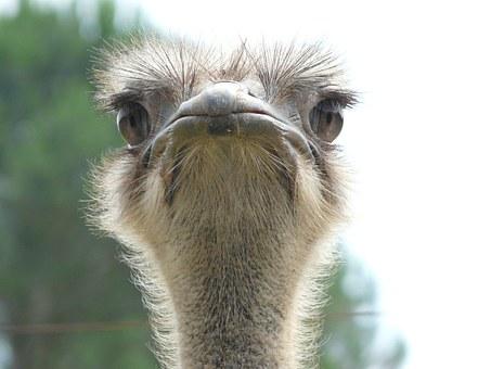 ostrich-642856__340